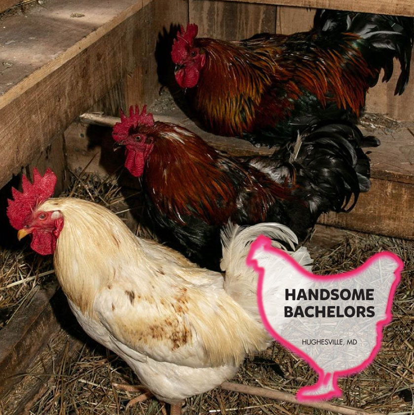 Adorable Flock of roosters photo